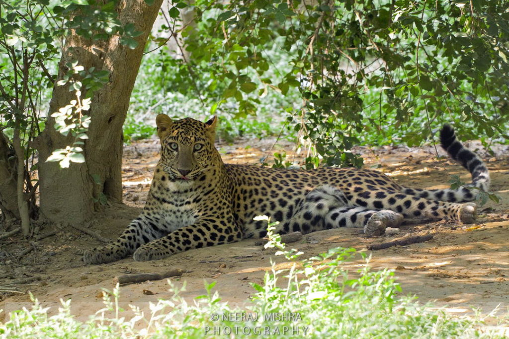 Leopard-03