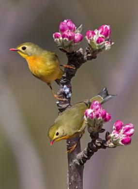 Hill Birds