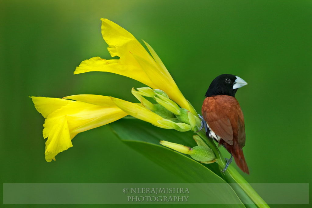 Munia Black-headed