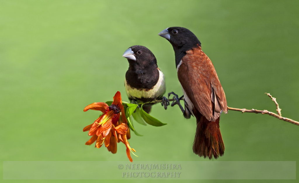 Munia Black-headed-03