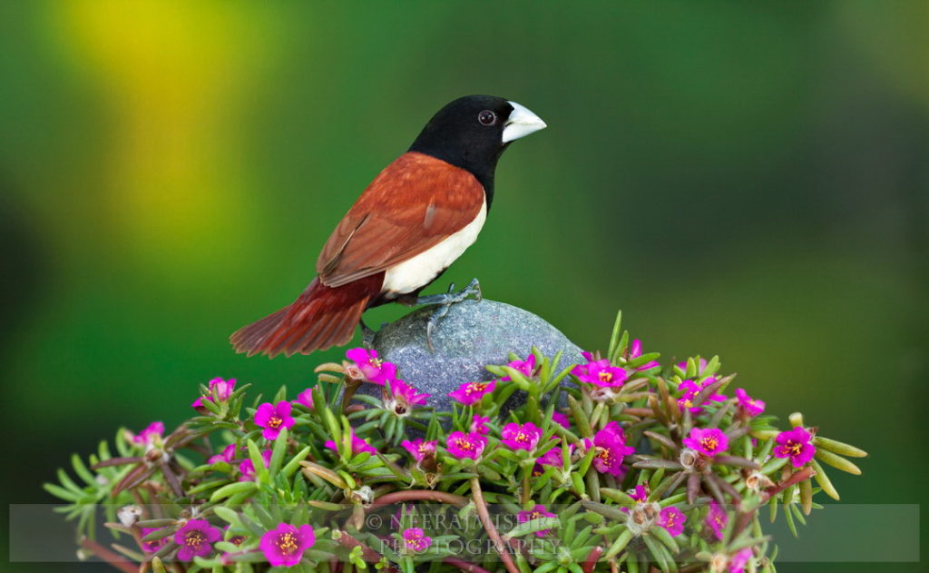 Munia Black-headed-05