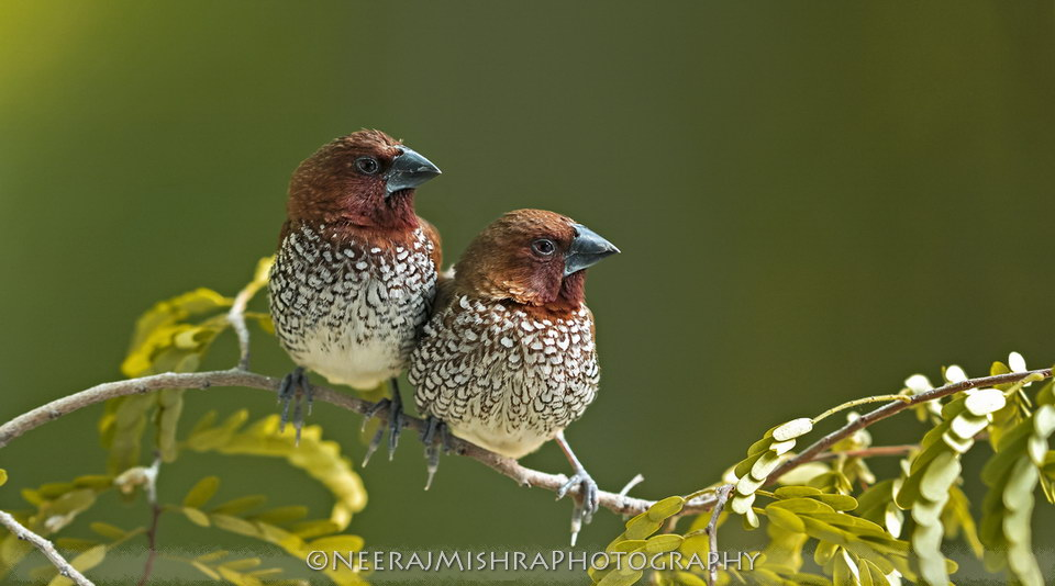 Scalybreasted Munia