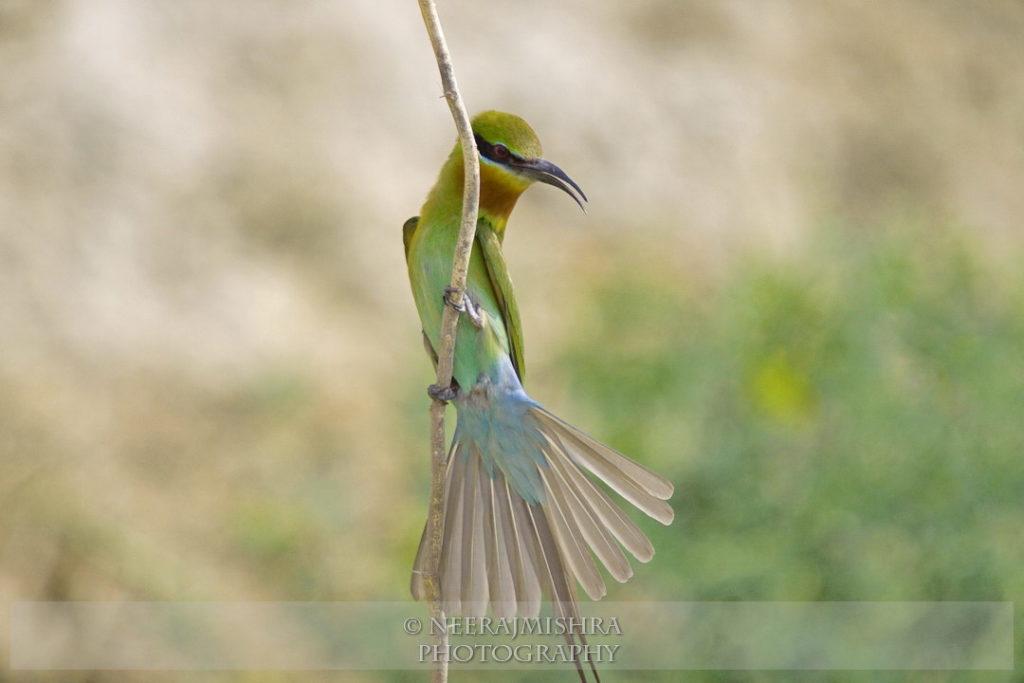 Bluetailed Bee-eatyer