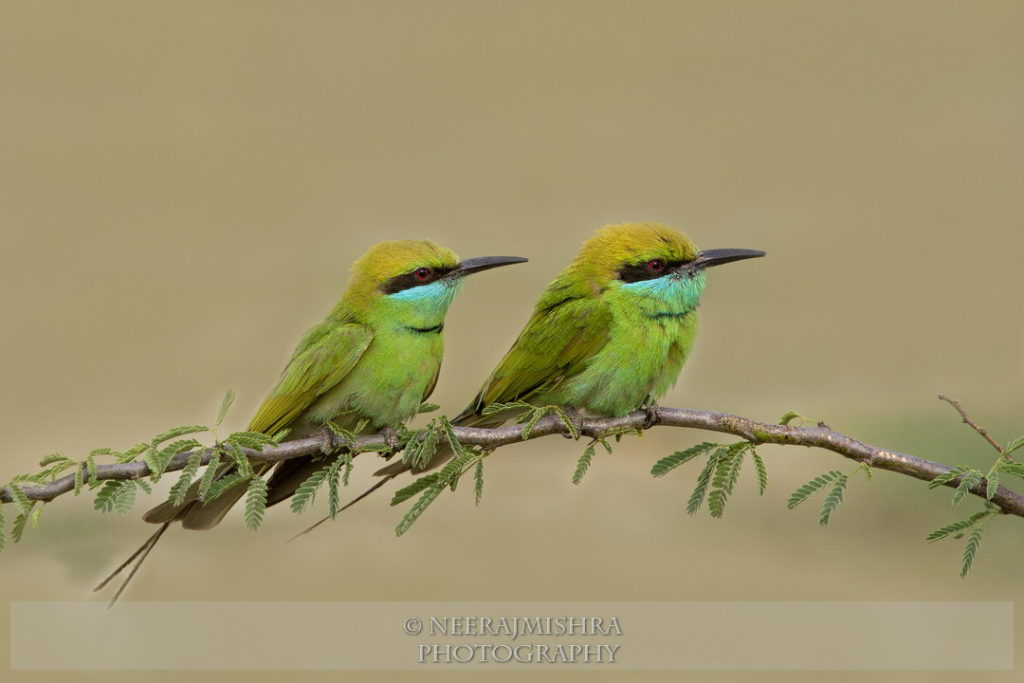 Beeeaters-06