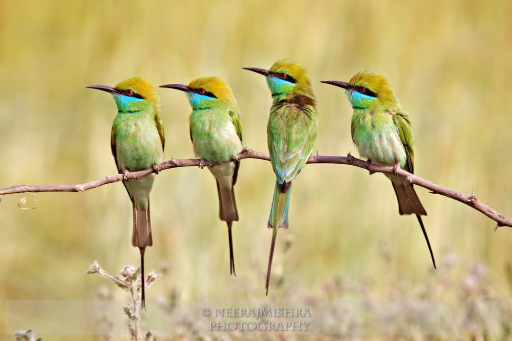 Beeeaters-07