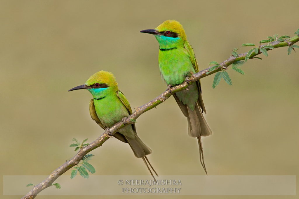 Beeeaters-08