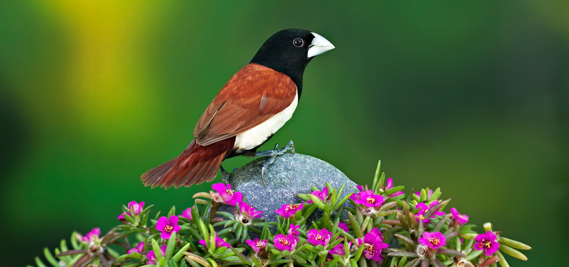 Black-headed-Munia