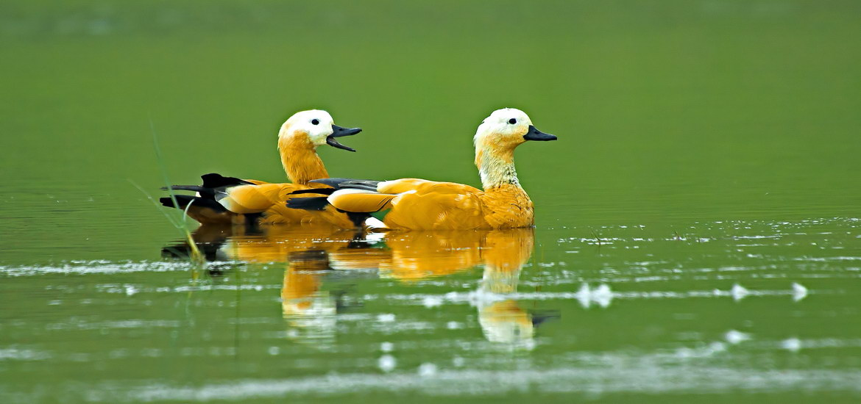 Brahminy-Ducks