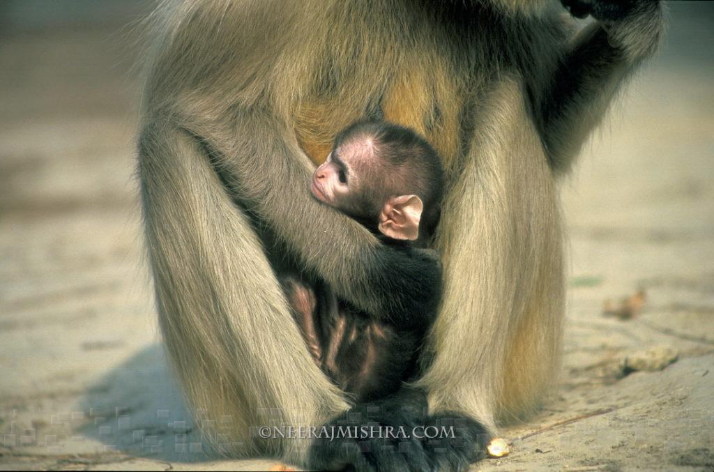 Hanuman Langur Baby