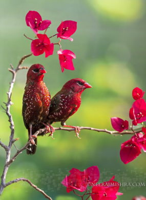 Red Avadavets