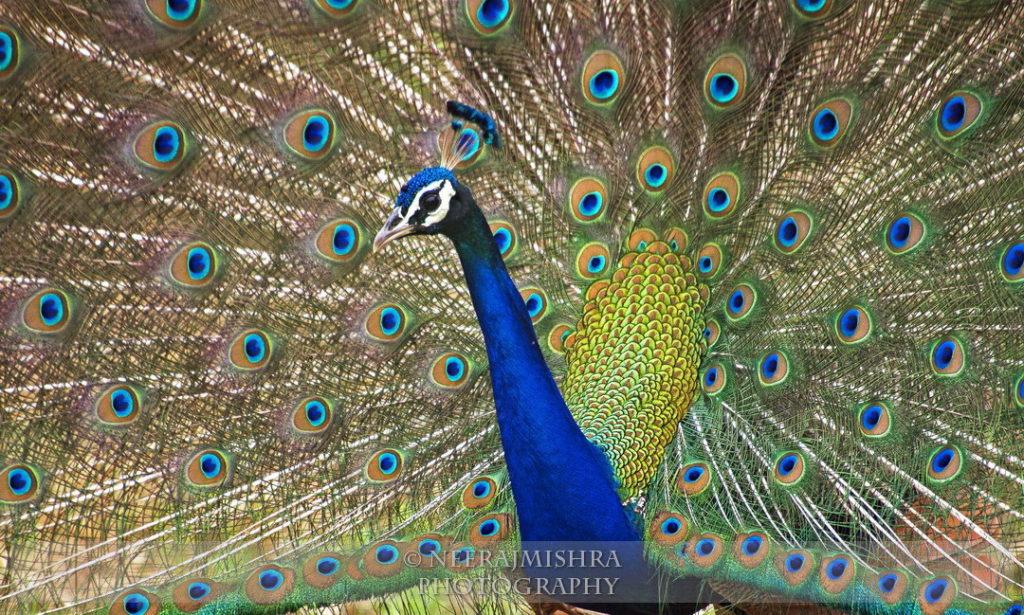Peacock-02 (2)