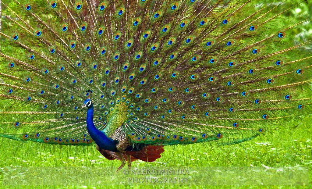 Peacock-04