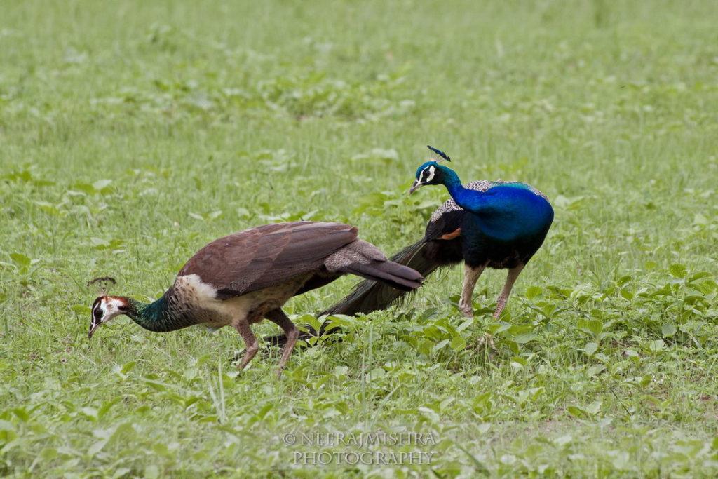 Peacock-05