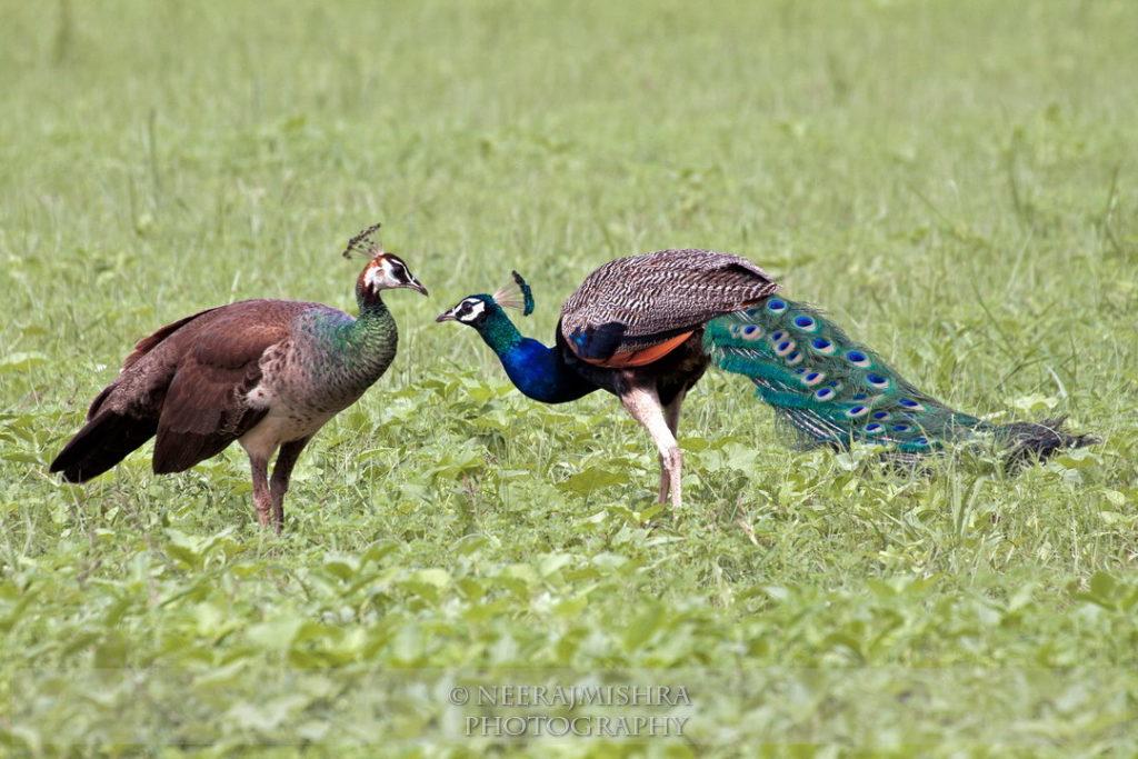 Peacock-07