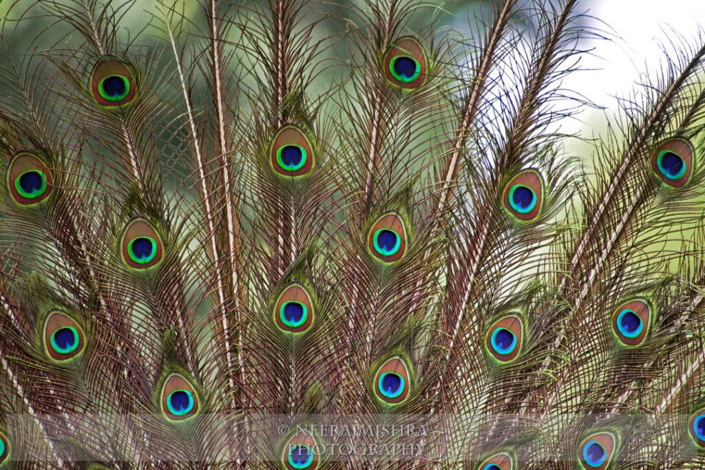 Peacock-08