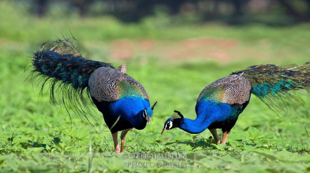 Peacock-09