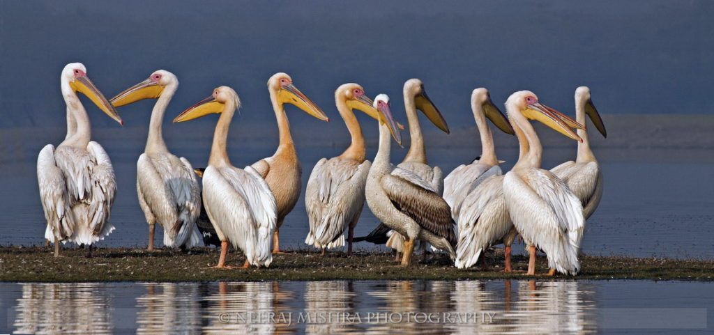 Pelicans-04