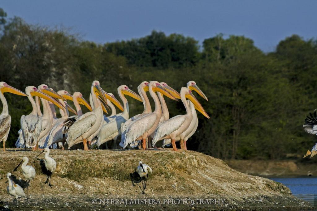 Pelicans-06