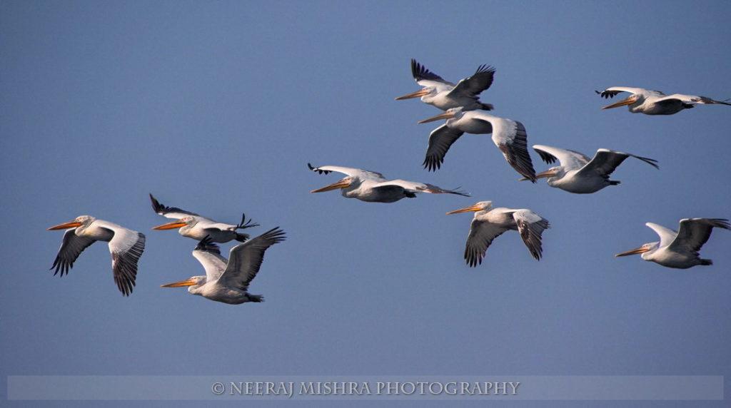 Pelicans-07