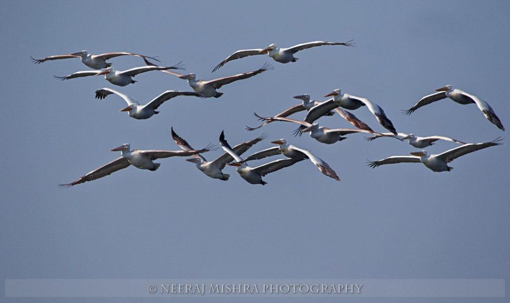 Pelicans-08