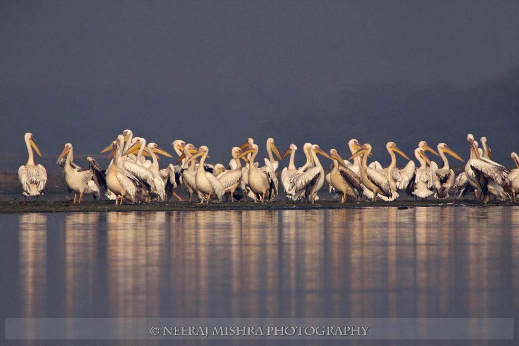 Pelicans-09