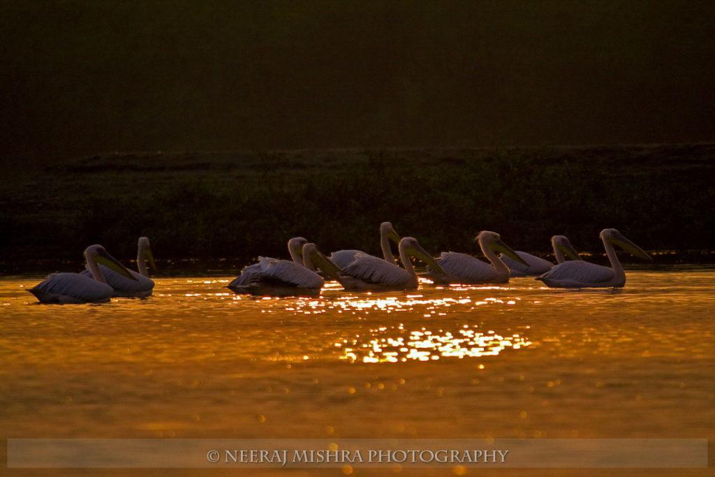 Pelicans-11