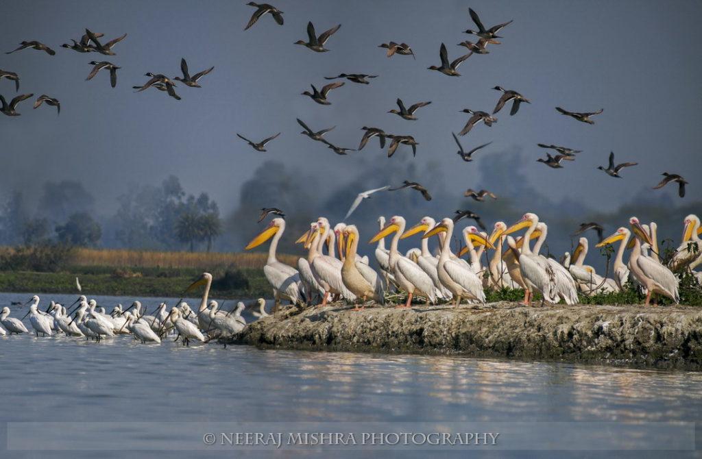Pelicans-12