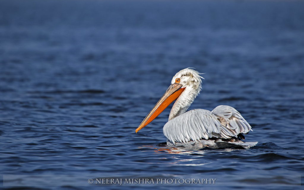 Pelicans-13