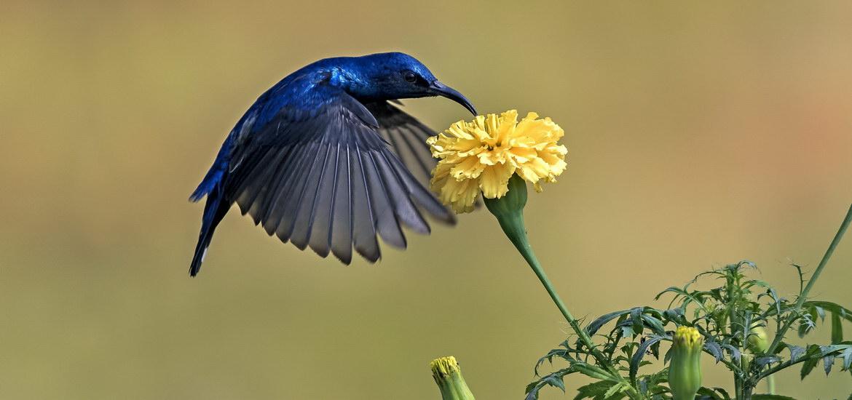 Purple-Sunbird