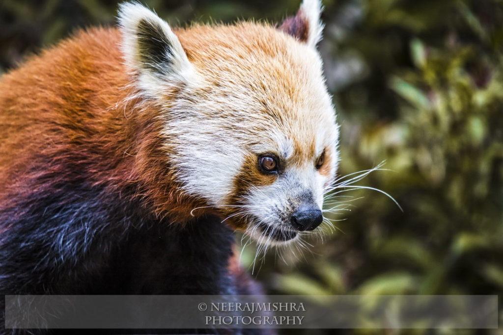 Red Panda-01