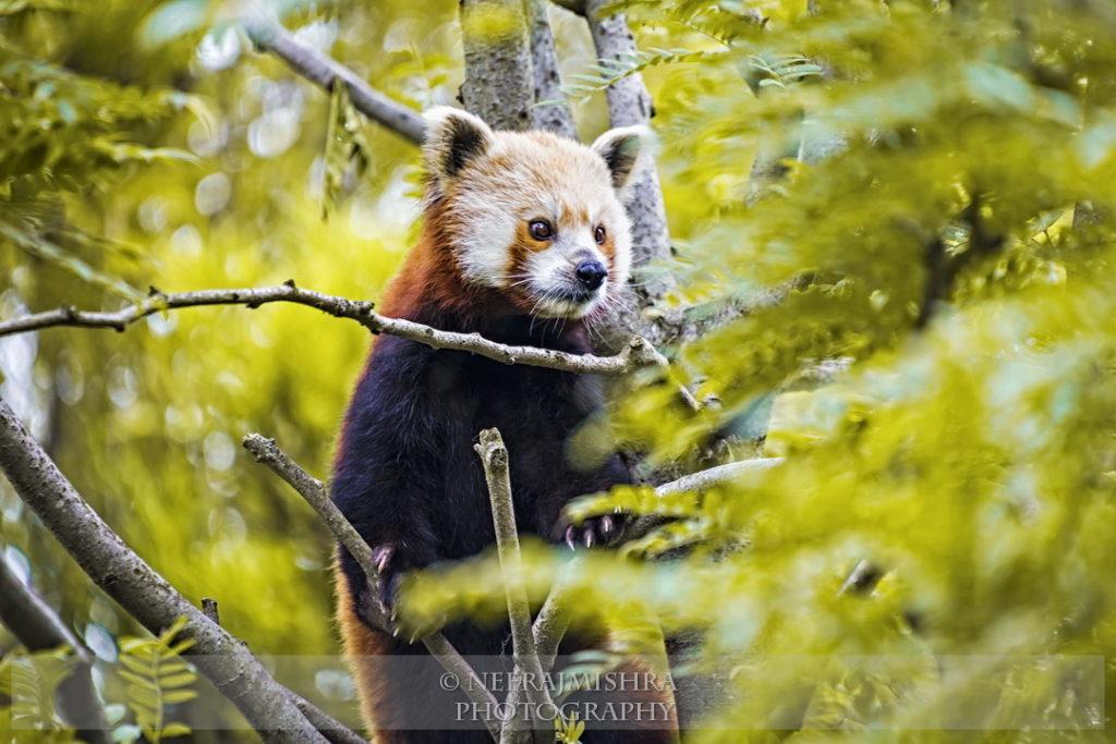 Red Panda-02