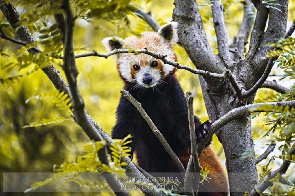 Red Panda-03