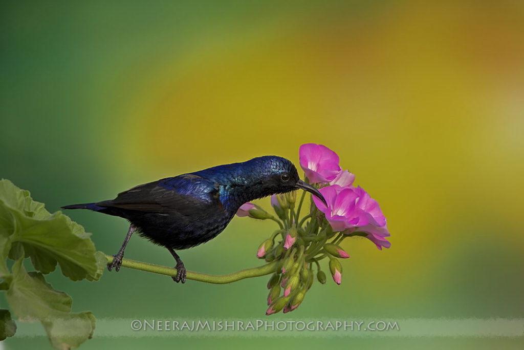 Sunbirds-03