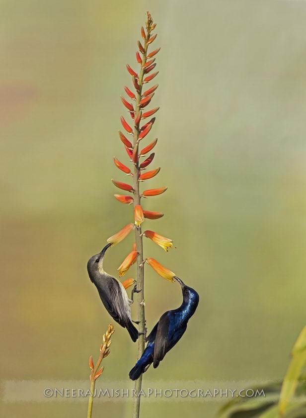 Sunbirds-06