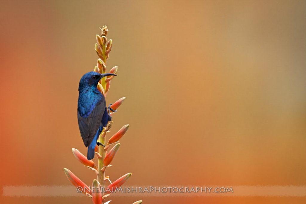 Sunbirds-10