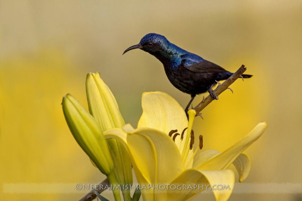 Sunbirds-16