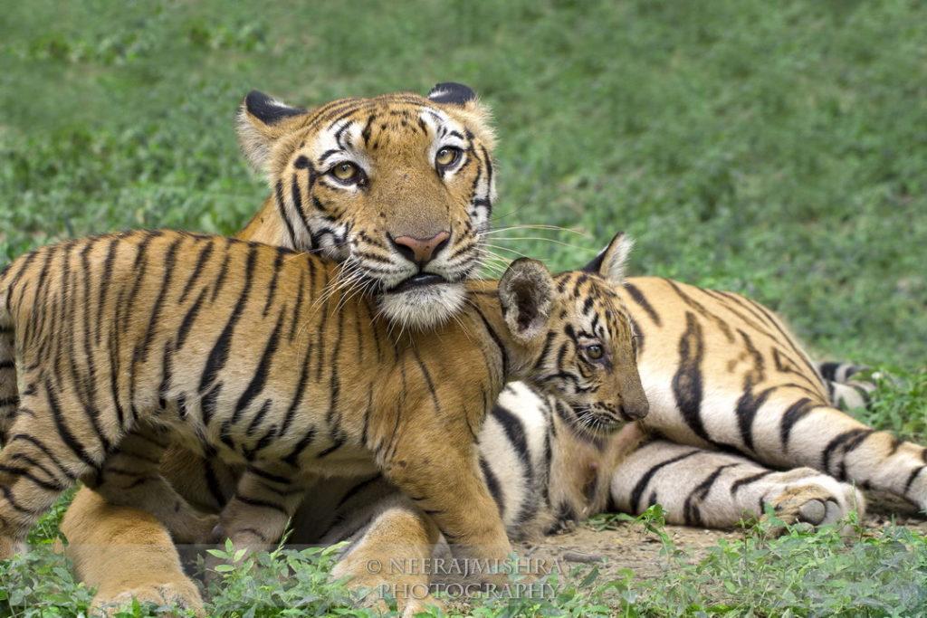 Tiger-03