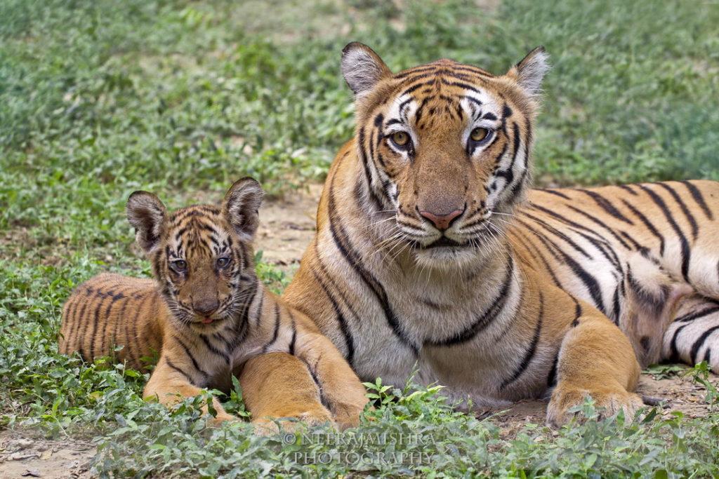 Tiger-04