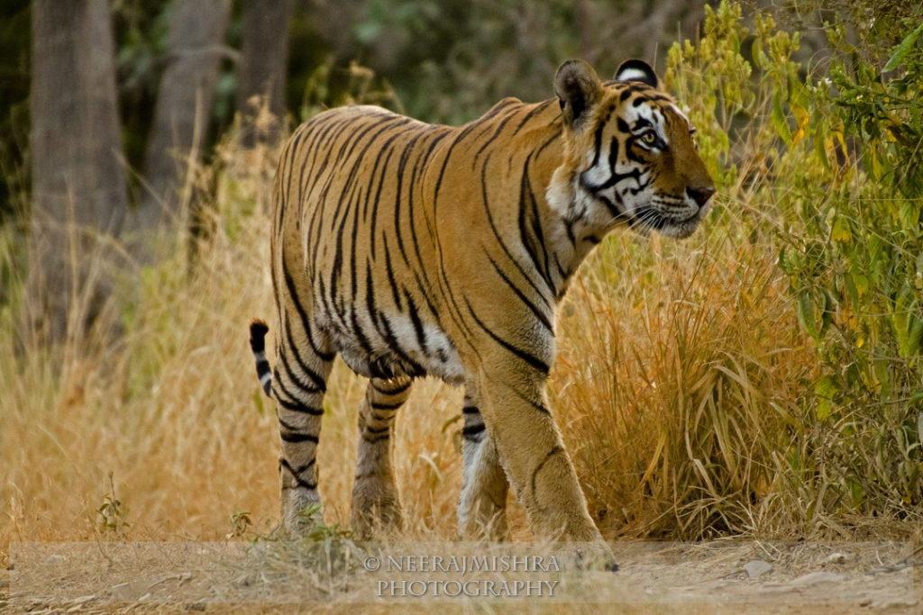 Tiger-05