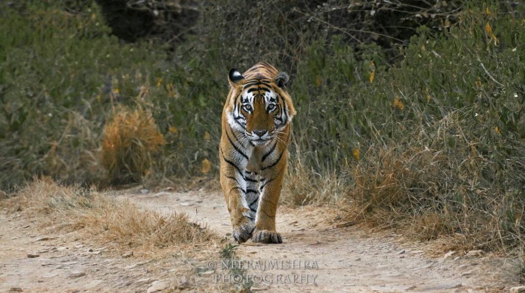 Tiger-06