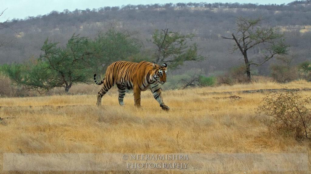 Tiger-07